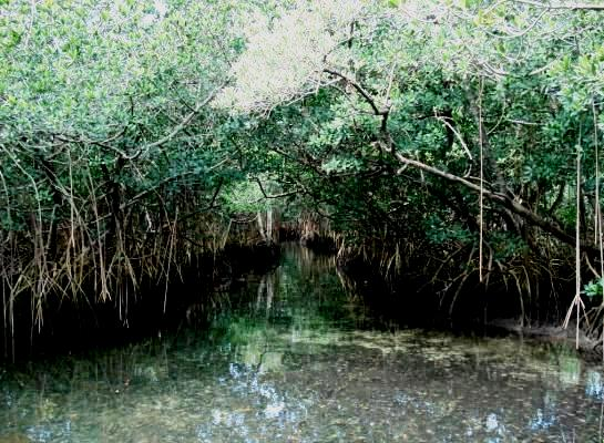 Hungry Bay mangroves 2