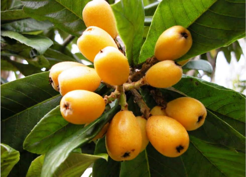 Bermudas flora loquats common in bermuda mightylinksfo