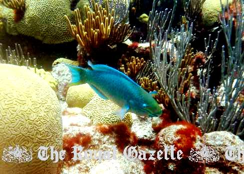 Parrotfish in Bermuda reefs