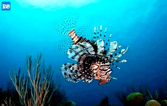 Lionfish in Bermuda