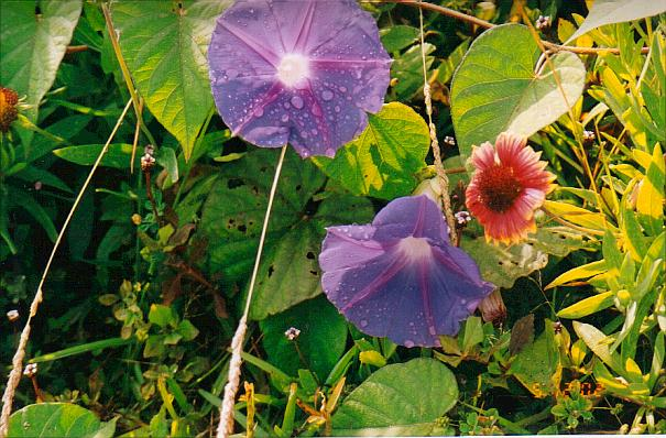 Morning Glory, wild in Bermuda