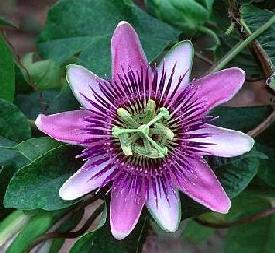 Bermuda Passion flower
